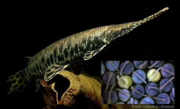 SPG - Spotted Gar adult & embryos SRD IB